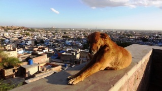 Waking up dog - Jodhpur