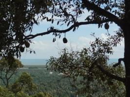 Durian tree- Penang