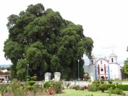 El Arbol del Tule - Oaxaca