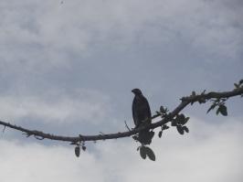 Eagle - Laguna Ventanilla