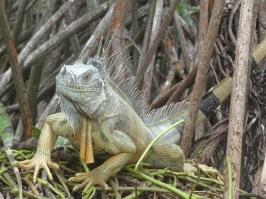 Iguana - Laguna Ventanilla