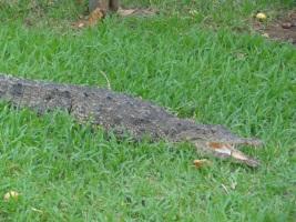 Crocodile - Laguna Ventanilla