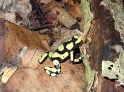 Frog - Capurgana
