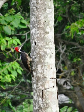Woodpecker - Capurgana