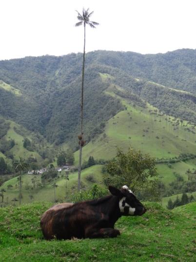 Cow - Cocora valley (Elise favorite)