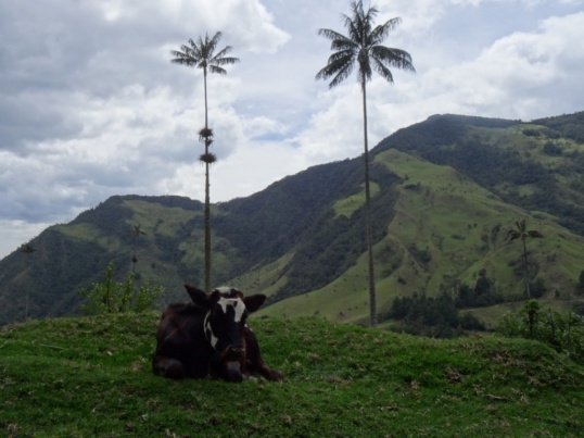Cow - Cocora valley (Jerome favorite)