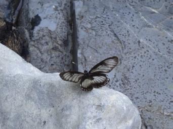 Butterfly - Tena