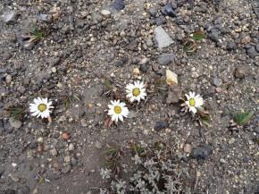 Altitude flowers (5000 meters)
