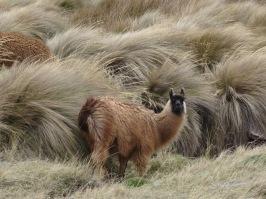 Lama with long hair