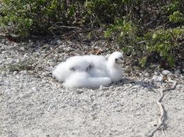 Baby nasca booby