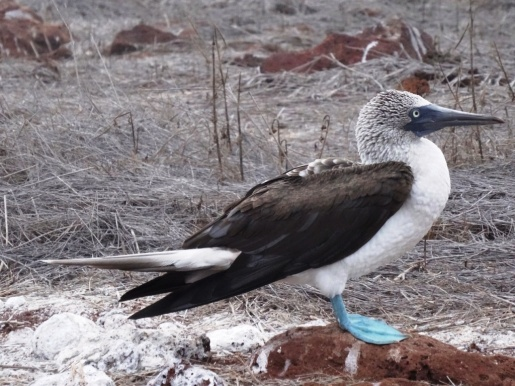 Blu-footed booby