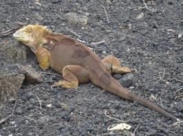 Iguana terrestre
