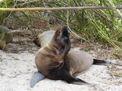 Baby sea lion