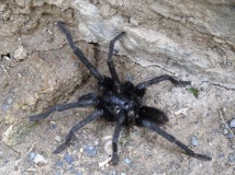 Tarantula - Sacred Valley