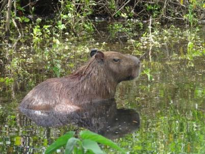 Capybara - Yanaka river