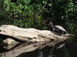 Turtle - Yanaka river