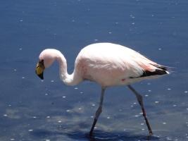 Flamingo - Sur Lipez