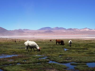 Lamas - Sur Lipez