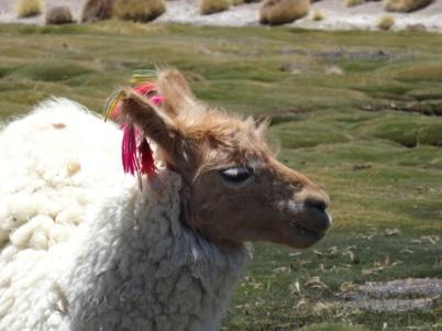 Lama - Sur Lipez