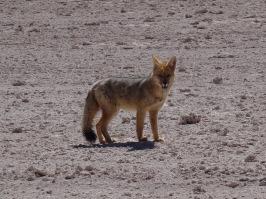 Fox - Sur Lipez