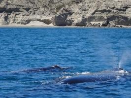 Humpback whales - Peninsula Valdes