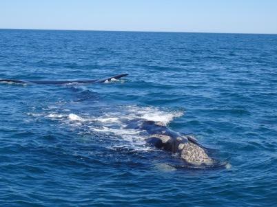 Humpback whale - Peninsula Valdes