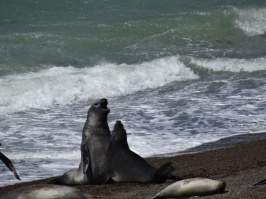Sea elephants playing - Peninsula Valdes