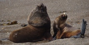 Male & Female sea lions - Peninsula Valdes