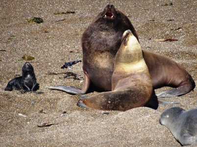 Male, Female & baby sea lions - Peninsula Valdes