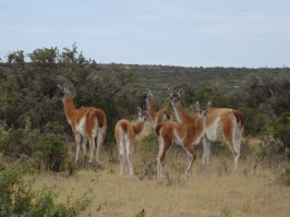 Guanacos (sort of lamas) - Peninsula Valdes