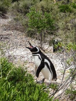 Magellan-Pinguin - Punta Tumbo