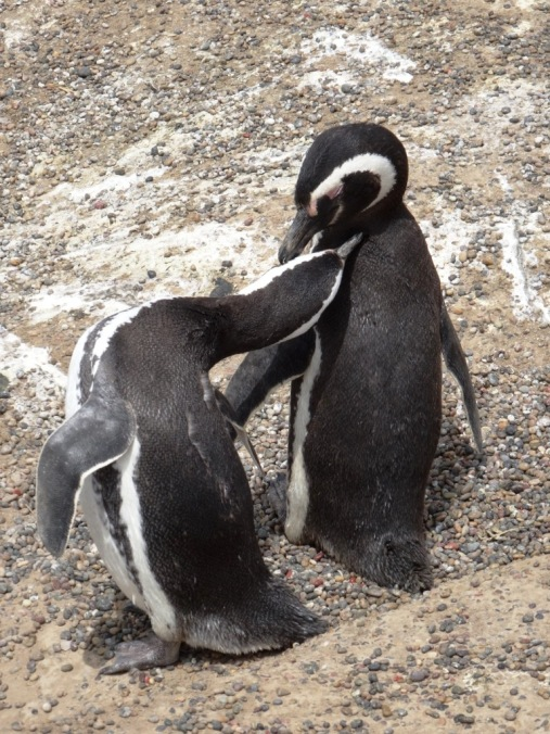 Magellan-Pinguins couple - Punta Tumbo