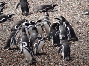 Magellan-Pinguins meeting on the beach - Punta Tumbo
