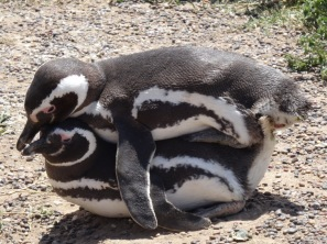 Magellan-Pinguins having sex - Punta Tumbo