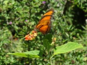 Butterfly - Iguazu
